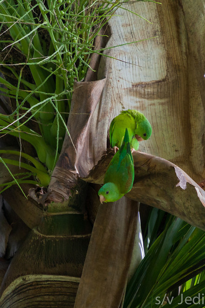 Two Orange-chinned Parakeets - Couple of Parakeets in a palm tree.