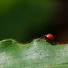 Erotylid Beetle