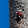 Lineated Woodpecker - A Lineated Woodpecker sticking his head out of a hole in a dead Palmtree