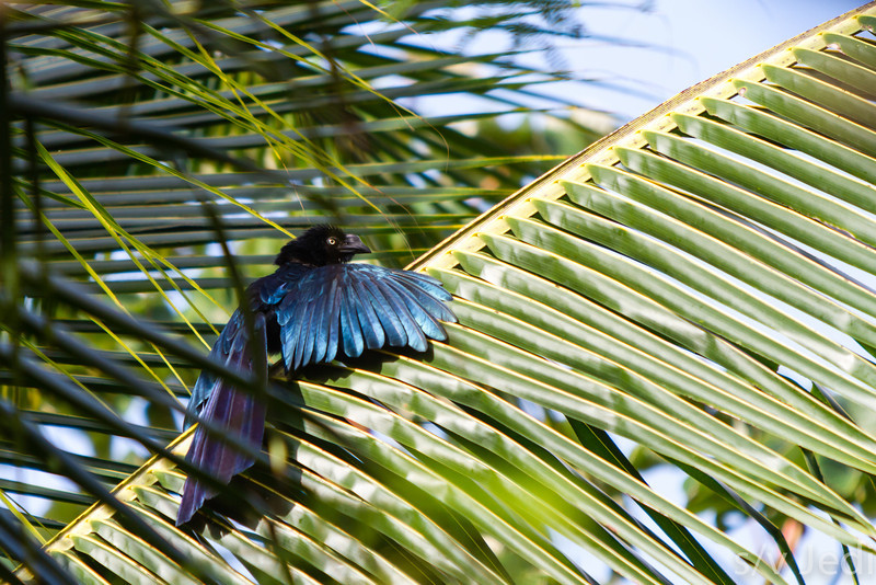 Smooth-billed Greater Ani - The sun turns this Ani's feathers to blue