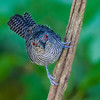 Fasciated Antshrike close-up - A close-up of a Fasciated Antshrike in the rainforest in Panama