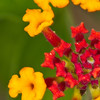 Lantana Camara flower - The yellow and red flowers of the lantana camara or red sage yellow sage at Fort Sherman, Colon, Panama