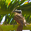Kissdakee building nest - Kissdakee gathering building material for her nest in a palm tree at Diablo beach, Panama