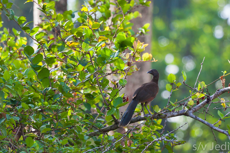 Gray-headed Chachalaca in Rainforest - Gray-headed Chachalaca in the wild at Fort Sherman, Colon, Panama