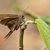 Long tailed skipper posing for picture - Long tailed skipper in rainforest at Fort Sherman, Colon, Panama