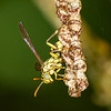 Paper wasp guarding nest - Paper wasp on nest in Panama rainforest