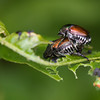 Mating Japanese Beetles