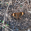 Common buckeye butterfly in rainforest - Orange, brown, black butterfly, common buckeye at fort Sherman, Colon, Panama