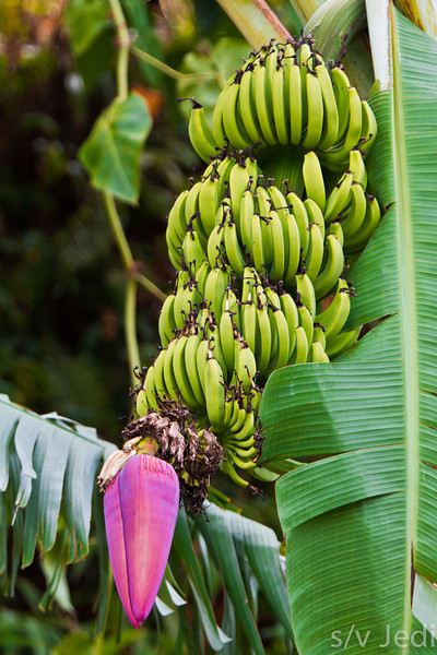 Bunch of bananas with flower - Red flower at the end of this bunch of bananas