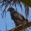 Common Mangrove Black Hawk in Palm tree. - Common Mangrove Black Hawk in Palm tree. Yellow bill and tallons. Fort Sherman, Colon, Panama. Ft Sherman was a US Army base to protect the Canal.
