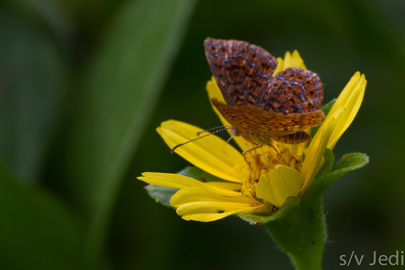 Hermodora Metalmark on flower in Panama - Hermodora Metalmark is with less than 1/2 inch one of the smaller butterflies
