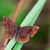 Metalmark butterfly in rainforest. - Metalmark butterfly at fort Sherman, Colon, Panama with striped antennas.