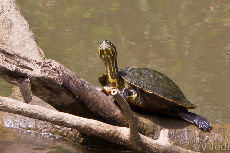 """Slider turtle in the wild at Gamboa, Panama. - Red eared slider turtle in the rainforest at """"Los Lagartos"""" restaurant, Gamboa, Panama"""