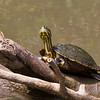 "Slider turtle in the wild at Gamboa, Panama. - Red eared slider turtle in the rainforest at ""Los Lagartos"" restaurant, Gamboa, Panama"