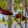 Two Crimson-backed Tanagers - The female is orange and the male red are they fighting or mating?