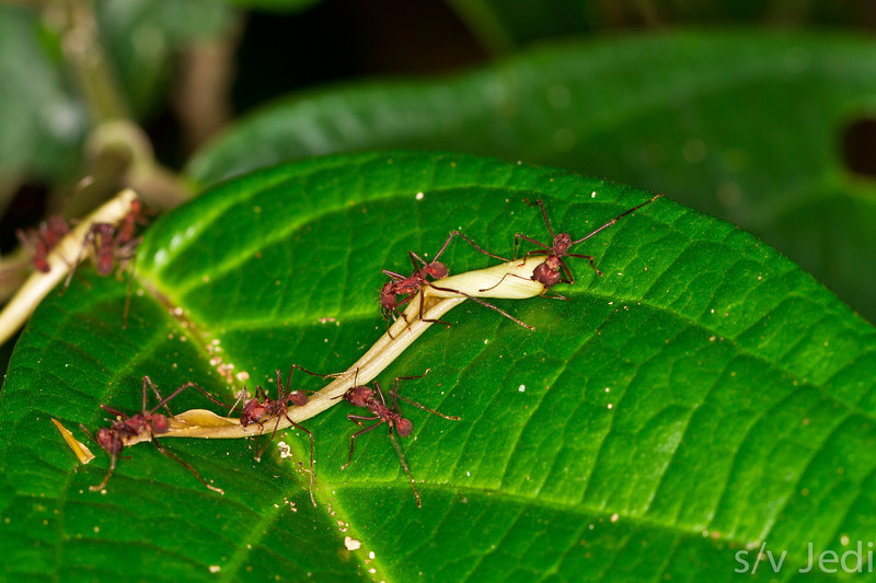 Teamwork in ant world - Five leafcutter ants working together to move a big piece of scrub in Panamanian rainforest