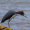 Juvenile Little Blue Heron in attack mode - Little Blue Heron getting ready to grab a fish at Fort San Loranzo, Panama