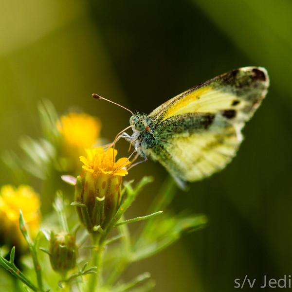 A Dainty Sulphur - A Dainty Sulphur butterfly on a yellow flower.