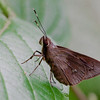 Three spoted Skipper - Skippers are Butterflies not moths
