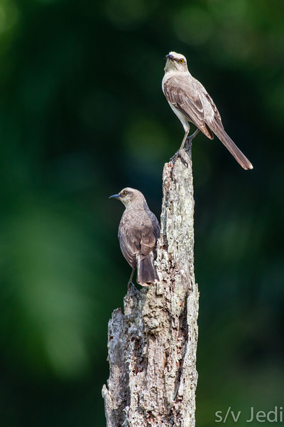 Two Tropical Mockingbirds on the look-out - Two Mockingbirds on a dead tree at the edge of the rainforest.
