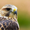 A Red-tailed Hawk - A Red-tailed Hawk in Limon, Colorado, USA