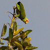 Green parot. - Green parot preparing it's spot in the tree for the night in Fort Sherman, Colon, Panama.