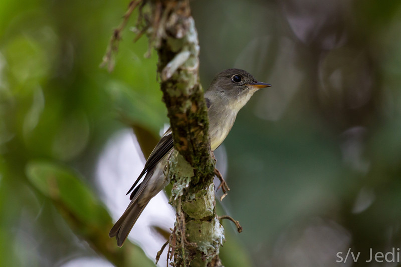 Paltry Tyrannulet sitting on vine - Paltry Tyrannulet on a vine in the Panamanian rainforest