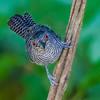 Fasciated Antshrike close-up - A close-up of a Fasciated Antshrike in the rainforest in Panama
