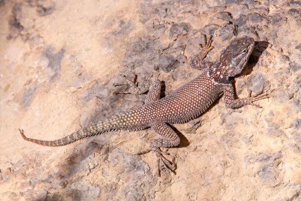 Sceloporus jarrovii (Yarrow's spiny lizard), Chiricahua National Monument, Basin and Range province, Cochise County, Arizona