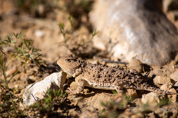 Greater short-horned lizard (Phrynosoma hernandesi), Uintah County, Utah
