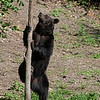 Eurasian brown bear climbing