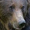 Eurasian brown bear close-up