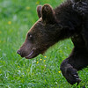 Europese bruine beer juv.