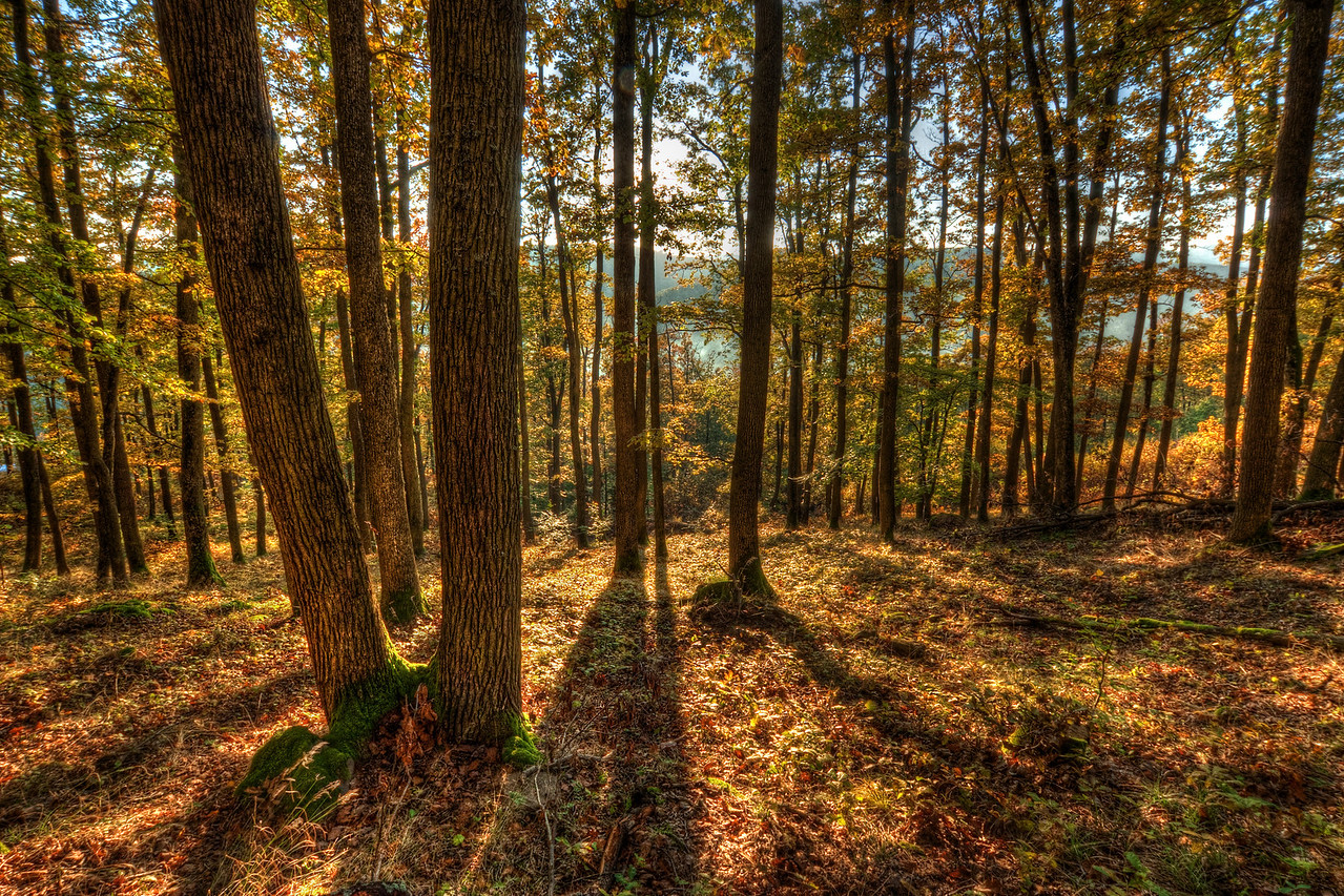 Sunset Shadows  In the woods during a sunset. What else to say :) I punched the colors a little, so the photo gets this nice yellow/gold feel to it. This photo was taken in autumn last year at the Stary Haj area in central Slovakia.  HDR from three shots, taken with Canon 450D with Sigma 10-20mm lens, from a tripod.