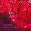 Crimson woods