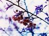 Purple sakura - Lomochrome Purple XR 100-400
