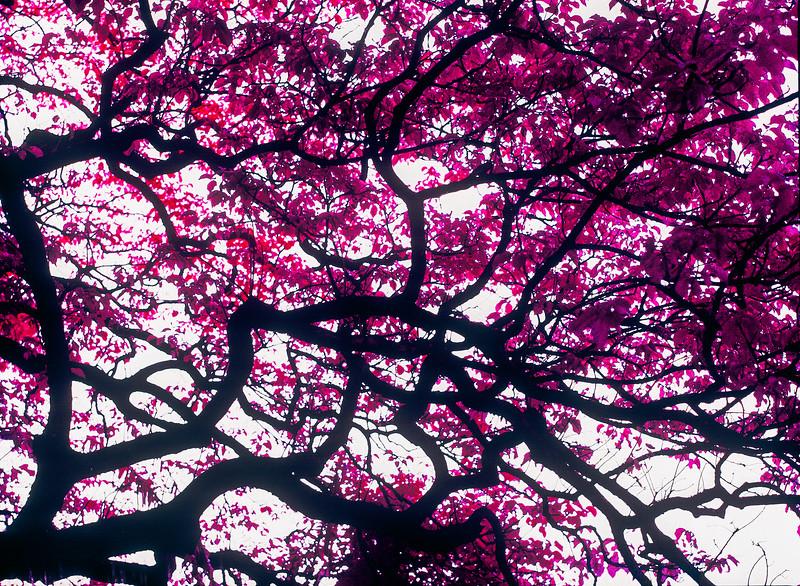 Fuchsia canopy