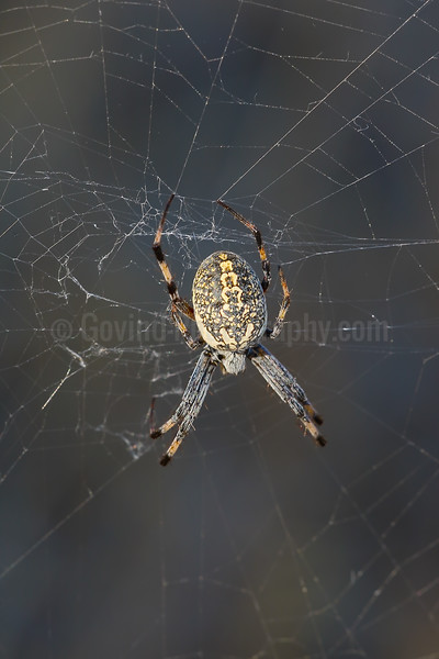 Western Spotted Orb Weaver on Web