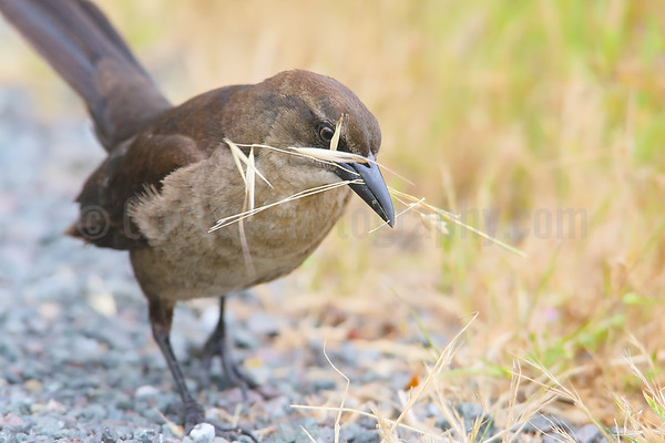 Great-tailed Grackle (F) Gathering Nesting Material