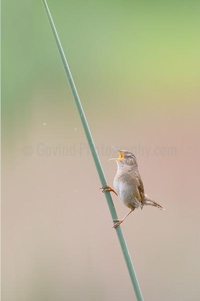 Marsh Wren Territorial Singing
