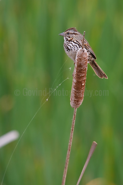 Song Sparrow on Cat-tail