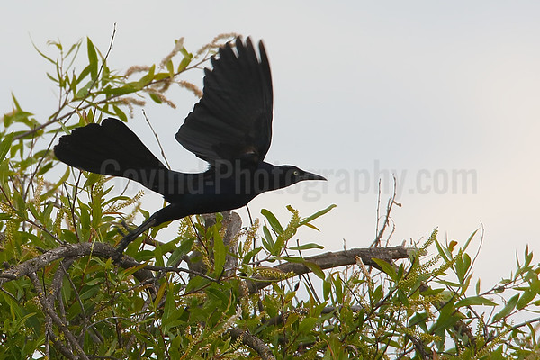 Great-tailed Grackle (M) Take-off