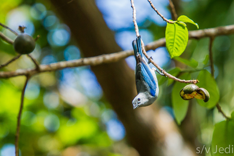Blue Grey Tanager - Blue-grey Tanager hanging upside down from a branch after eating fruit