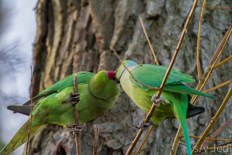 Kissing Parakeets - These 2 Rose-ringed Parakeets are actually feeding and not kissing