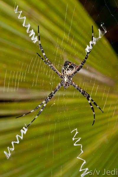 Argiope lobata spider. - Argiope lobata spider with typical zig-zag patterns in her web with a dark green palm leaf in the background.