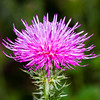 Carduus Crispus - Lilac pink Thistle flower at Fort Bellefonte, PA