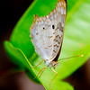 White peacock butterfly on sunny leaf. - White peacock butterfly  in Panamanian rainforest, Colon, Fort Sherman, Panama. Ft Sherman was a US Army base to protect the Canal.