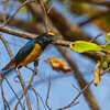 Spot-crowned Euphonia - Female Spot-crowned Euphonia in Tropical rainforest at Fort Sherman, Colon, Panama.