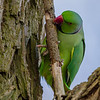 A Rose-ringed Parakeet. - A Rose-ringed Parakeet at the Kralingse Plas in Rotterdam, The Netherlands