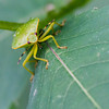 Green Stink bug with yellow stripe - Front facing green stink bug with yellow/black checkered antennas